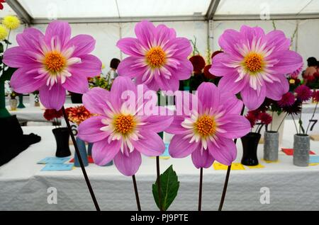 Five perferct dahlias on display at an agricultural show Vale of Glamorgan Wales UK - Stock Photo