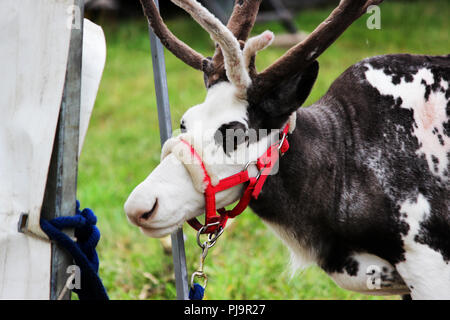 a circus reindeer Rangifer tarandus in a red bridle is tied next to a tent of a wandering circus set on a wasteland. - Stock Photo