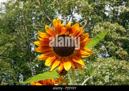 A single sunflower against a green background of trees - Stock Photo