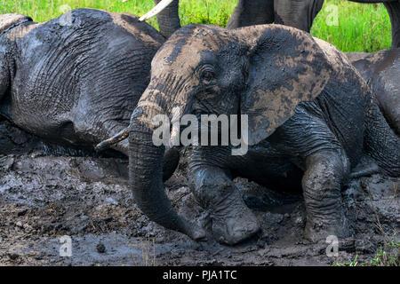 African elephants or Loxodonta cyclotis in mud - Stock Photo
