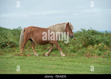 wild pony on dartmoor - Stock Photo