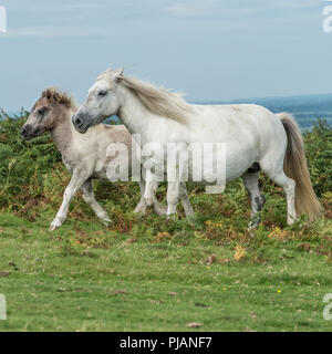 wild ponies on dartmoor - Stock Photo