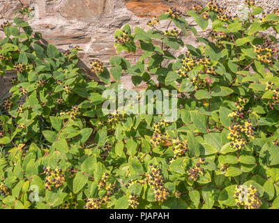 Black berries of Tutsan [Hypericum androsaemum] in sunshine. Tutsan was used as a medicinal herbal wound plant, and is related to St. John's Wort. - Stock Photo
