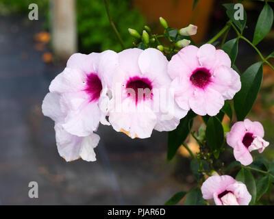 Red throated white flowers of the tender Australian climber, Pandorea jasminoides Stock Photo