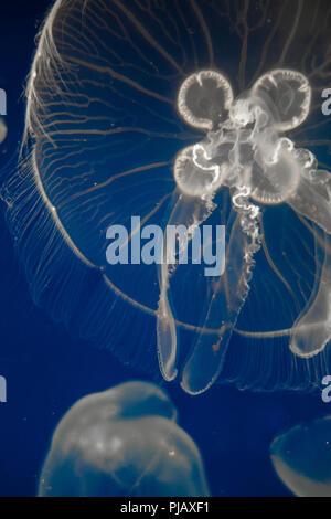 Moon Jellyfish (Aurelia Aurita) floating on dark blue background - Stock Photo