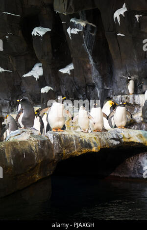 Colonies of penguins displayed at the the Empire of the Penguin exhibit in SeaWorld, Orlando - Stock Photo