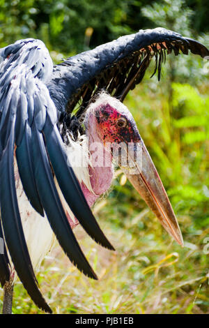 African marabou, Villars Les Dombes, France - Stock Photo