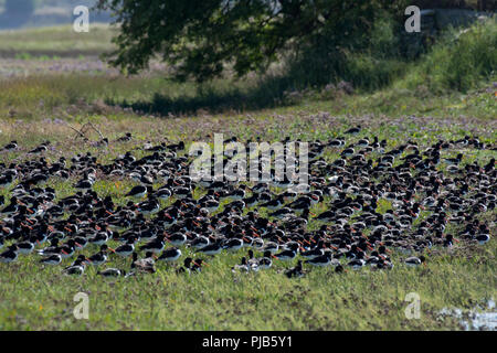 Flock of Eurasian Oystercatcher, Haematopus ostralegus, roosting on grass,  Morecambe Bay, Lancashire, UK - Stock Photo