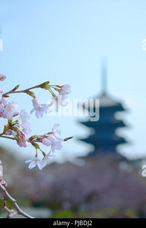 Cherry blossom tree in bloom in the spring of Japan. - Stock Photo