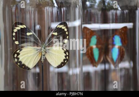 Butterflies in a transparent bell jar - Stock Photo