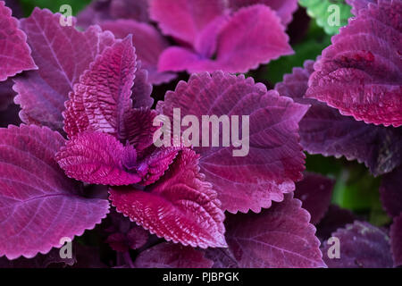 Coleus redhead closeup in a flower bed. Oklahoma, USA. - Stock Photo