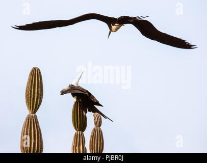 Fledgling Magnificant Frigate bird practicing flight atop cactus. Isla Lobos, Galapagos, Ecuador - Stock Photo