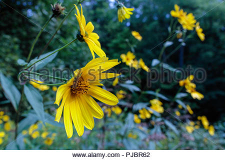 Smooth Oxeye or Heliopsis helianthoides in Rouge National Urban Park an urban wilderness in Toronto Ontario Canada - Stock Photo