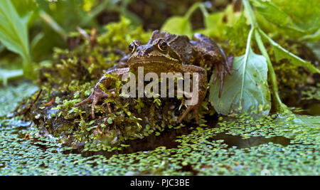 Eye level, face on portrait of European common frog, Rana Temporaria, sitting on rock surrounded by water plants. - Stock Photo