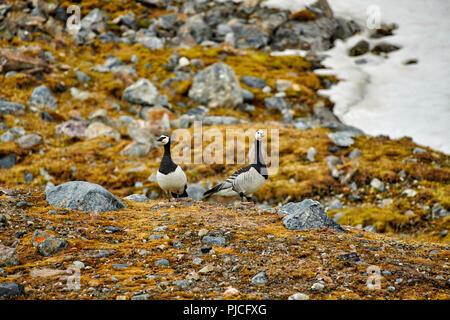 barnacle goose (Branta leucopsis), Svalbard or Spitsbergen, Europe - Stock Photo