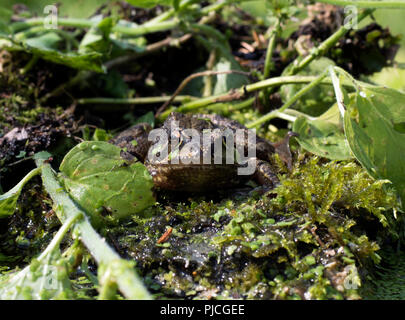 Eye level face on portrait of European common frog, Rana temporaria, sitting on rock surrounded by water plants. - Stock Photo