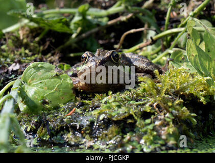 Eye level, face on portrait of European common frog sitting on rock surrounded by water plants. - Stock Photo