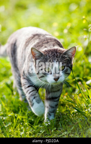 Silver tabby cat walking in the grass towards camera