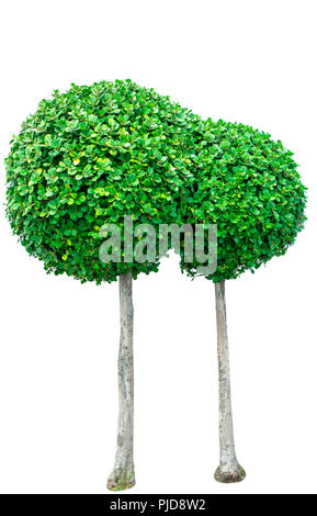 Decorative Green Tree With Small Round Leaves Growing Near