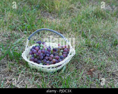 bunches of black grapes collected in a basket on the grass  after the harvest - Stock Photo