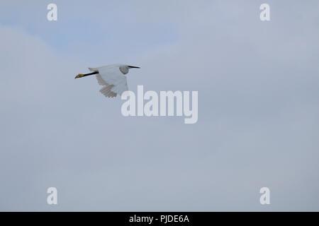 Little Egret in flight, East Preston, West Sussex, UK - Stock Photo