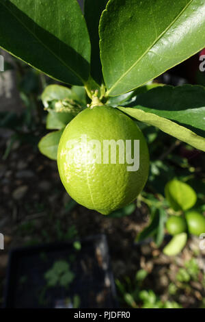Citrus latifolia or Tahitian Limes growing on a tree - Stock Photo