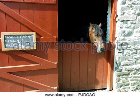 Pedigree 18 year old Welsh Cob horse named 'Gwenni' in the stables at Llanerchaeron country house, Ceredigion, Wales, UK - Stock Photo