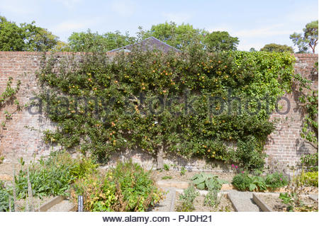 A vintage espalier apple tree, variety 'Jonathen', in the walled kitchen garden at Llanerchaeron Villa, Ceredigion, Wales, UK - Stock Photo