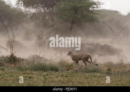 Cheetah hunting blue wildebeest, Ndutu, Ngorongoro Conservation Area, Serengeti, Tanzania - Stock Photo