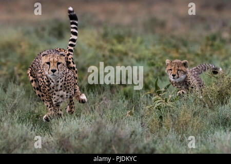 A female cheetah (Acinonyx jubatus) and its cub running, Ndutu, Ngorongoro Conservation Area, Serengeti, Tanzania - Stock Photo