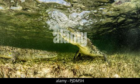 Chinchorro Banks american crocodiles, Xcalak, Quintana Roo, Mexico - Stock Photo