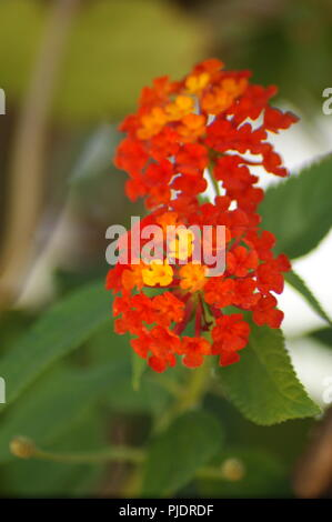 gros plan de fleurs orange et rouge de lantana camara Verbenaceae, close-up of a red and orange lantana camara flower big-sage, wild-sage, red-sage, w - Stock Photo