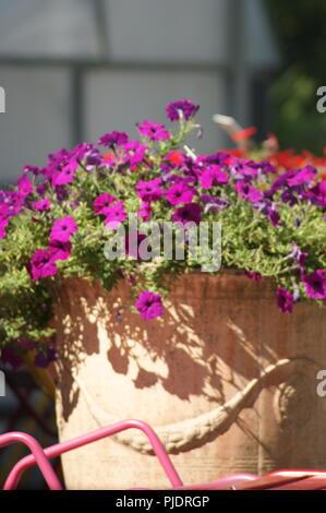 petunias violet et rose dans un pot ancien en terre cuite, purple and pink petunias in an old terracotta pot, lila und rosa Petunien in einem alten Te - Stock Photo