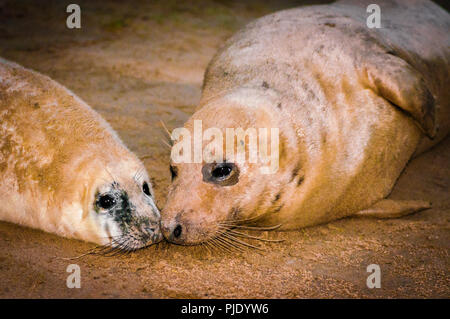Seals lying on the beach at Donna Nook Seal Colony, UK - Stock Photo