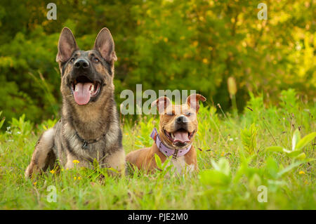 Portrait of a beautiful German Shepherd dog and an American Staffordshire Terrier dog while laying on the grass next to each other. - Stock Photo