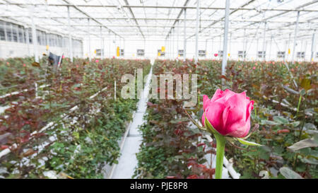 close-up of a red rose on a blurred floral background in a greenhouse - Stock Photo