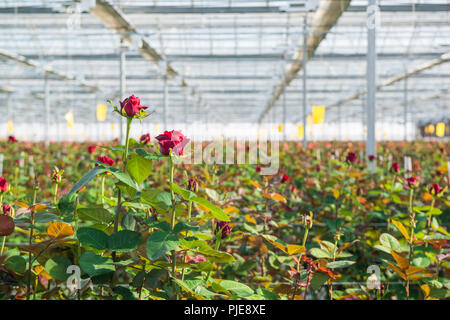 close-up of a rose on a blurred floral background in a greenhouse - Stock Photo
