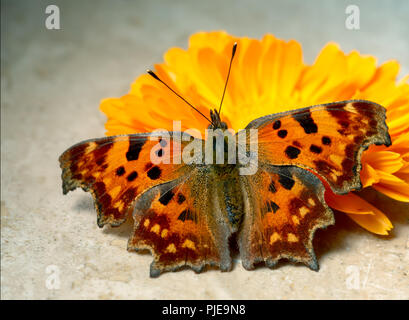 Comma Butterfly, Polygonia c-album, with a marigold flower in sunshine. Note this is a live butterfly, healthy mainly fluttering at the time  - Stock Photo