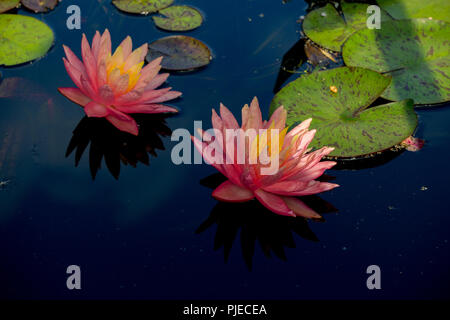 Two water lilies in a pond - Stock Photo