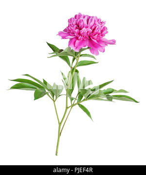 Single pink peony flower isolated on a white background