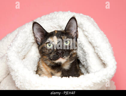 Portrait of an adorable tortie tabby kitten peaking out of a sheepskin blanket looking directly at viewer, pink background. - Stock Photo