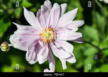 Japanese anemone flower (Anemone × hybrida) - Stock Photo