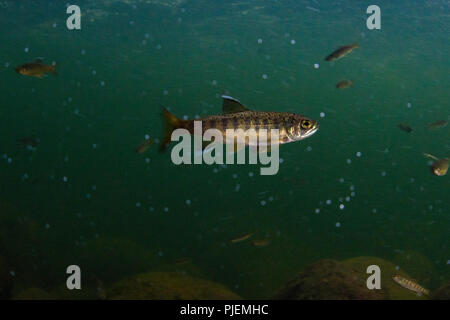 Underwater pictures of a juvenil Coho salmon in the Capilano river, British Columbia. - Stock Photo