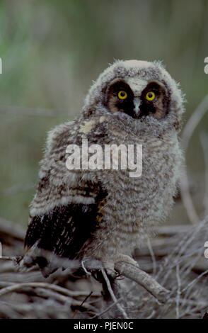 Juvenile long-eared owl (Asio otus) in the Morley Nelson Birds of Prey National Conservation Area in SW Idaho - Stock Photo
