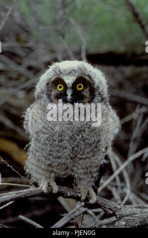 Juvenile long-eared owl (Asio otus) in the Morley Nelson Birds of Prey National Conservation Area in SW Idaho Stock Photo