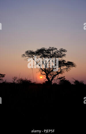 African sunset in Botswana with Acacia tree in silhouette - Stock Photo