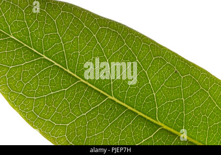 Macro image of a green leaf in Summer against a white background.