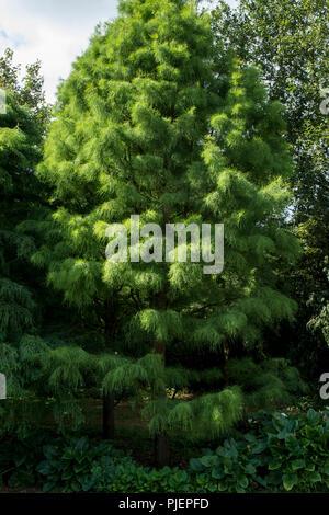 The conifer Taxodium distichum 'Nutans' - Stock Photo