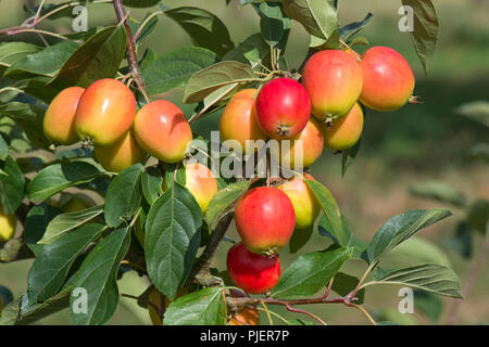 Crab apple, Malus 'John Downie', with red, orange-yellow ovoid fruit on the tree, Berkshire, August - Stock Photo
