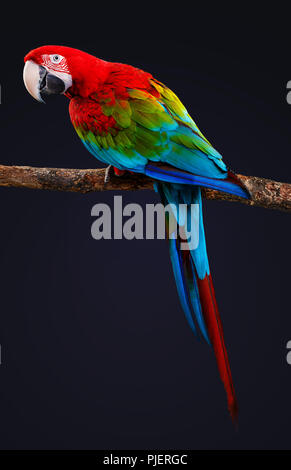 Macaw Parrot isolated on black background - Stock Photo